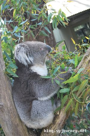 Koalas. They are not bear!